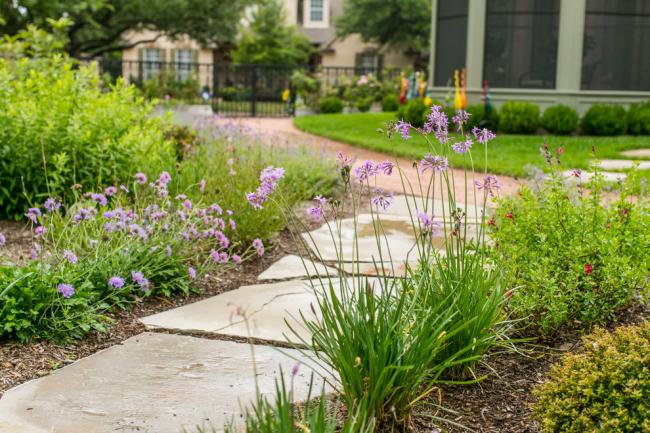 Скабиоза: посадка и уход: Декор садовой дорожки фиолетовыми цветами скабиозы