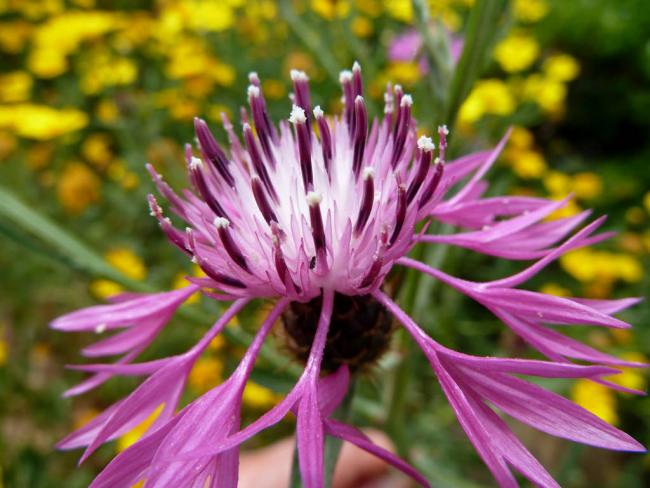 Прекрасный цветок скабиозы с острыми лепестками