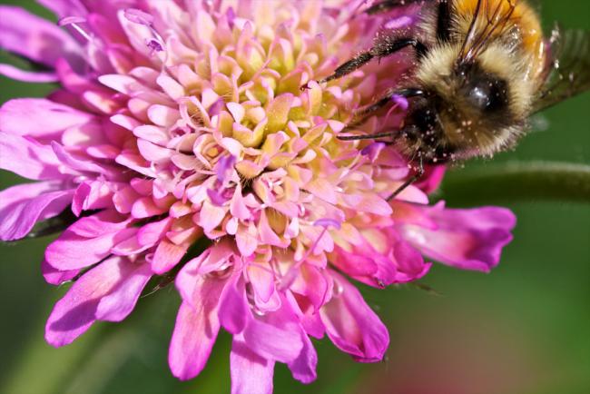 Скабиоза имеет красивые цветы с приятным ароматом