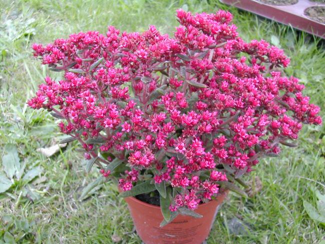 Роскошное цветение крассулы Шмидта