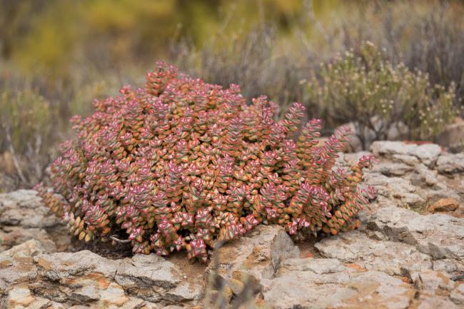 Кусты крассулы скальной выглядят просто очаровательно
