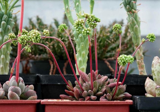 Толстянка - это одно из самых распространенных растений в домах и офисах