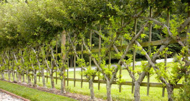 Ива подходит для создания быстрорастущей живой изгороди. Неприхотлива к качеству грунта