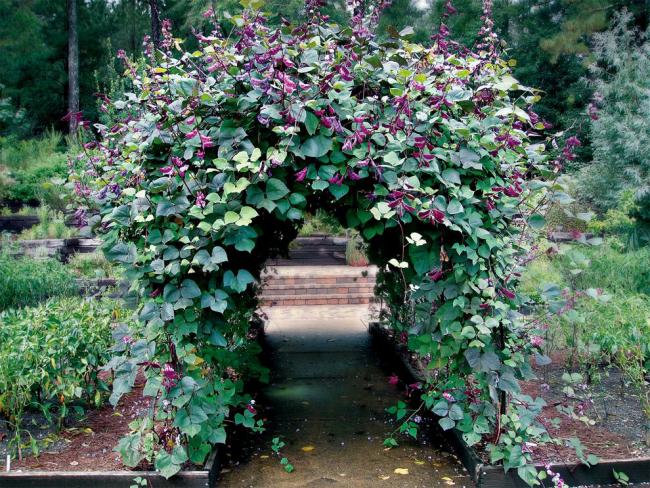 Долихос - густое плетущее растение с ярким цветением