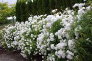 Фото 4 Быстрорастущая живая изгородь (65+ фото с названиями): лучшие многолетние и вечнозеленые растения и кустарники