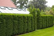 Фото 8 Быстрорастущая живая изгородь (65+ фото с названиями): лучшие многолетние и вечнозеленые растения и кустарники