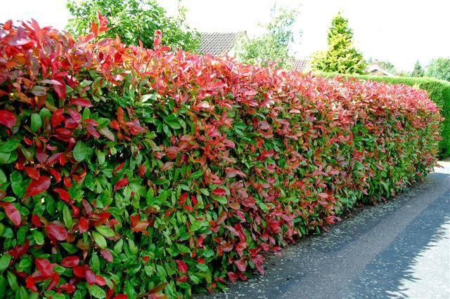 В осенний период живая изгородь может быть особенно привлекательной