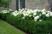 Фото 19 Быстрорастущая живая изгородь (65+ фото с названиями): лучшие многолетние и вечнозеленые растения и кустарники