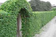 Фото 22 Быстрорастущая живая изгородь (65+ фото с названиями): лучшие многолетние и вечнозеленые растения и кустарники