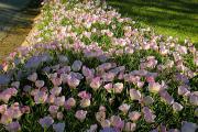 Фото 2 Энотера или лунный цветок: интересные факты от садоводов, хитрости посадки и ухода