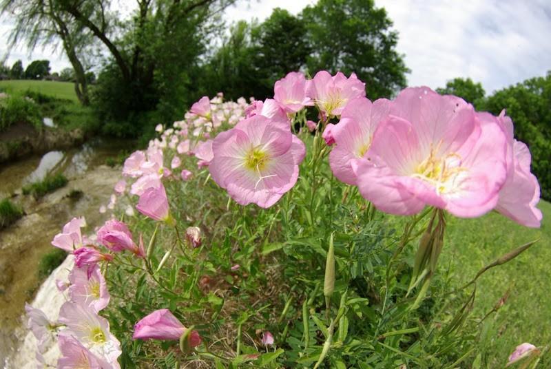 Выращивание энотера розовая 76