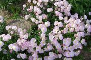 Фото 7 Энотера или лунный цветок: интересные факты от садоводов, хитрости посадки и ухода