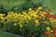 Фото 8 Энотера или лунный цветок: интересные факты от садоводов, хитрости посадки и ухода