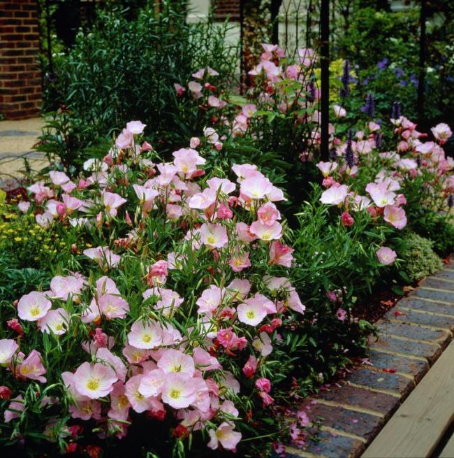 Нежно-розовые цветы красиво смотрятся во дворе частного дома