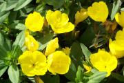 Фото 12 Энотера или лунный цветок: интересные факты от садоводов, хитрости посадки и ухода