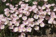 Фото 13 Энотера или лунный цветок: интересные факты от садоводов, хитрости посадки и ухода