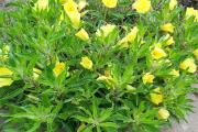 Фото 14 Энотера или лунный цветок: интересные факты от садоводов, хитрости посадки и ухода