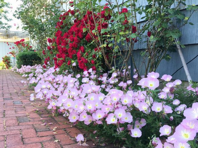 Красивый многолетний цветок можно посадить за забором дома
