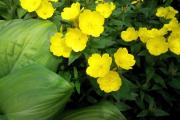 Фото 15 Энотера или лунный цветок: интересные факты от садоводов, хитрости посадки и ухода