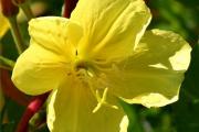 Фото 17 Энотера или лунный цветок: интересные факты от садоводов, хитрости посадки и ухода