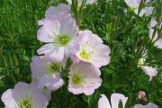 Фото 18 Энотера или лунный цветок: интересные факты от садоводов, хитрости посадки и ухода