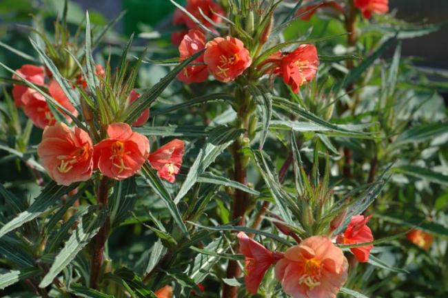 Яркие красивые цветы украсят ваш сад