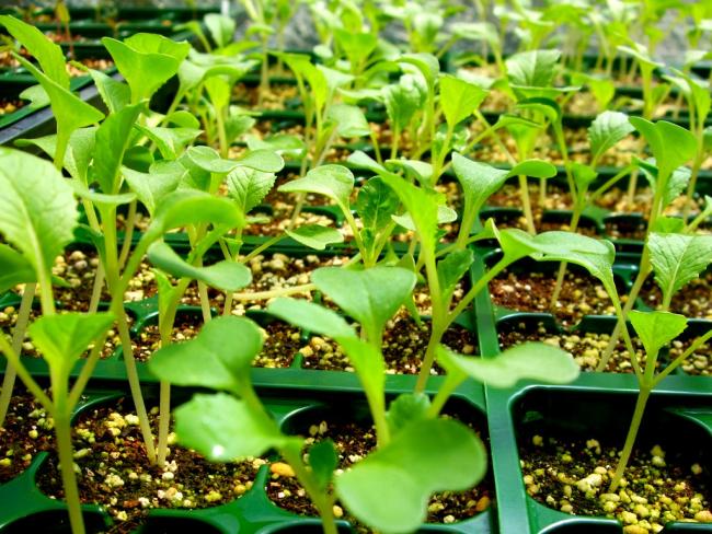 Выращивание рассады для посадки
