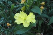 Фото 22 Энотера или лунный цветок: интересные факты от садоводов, хитрости посадки и ухода