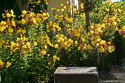 Фото 26 Энотера или лунный цветок: интересные факты от садоводов, хитрости посадки и ухода