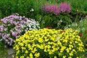 Фото 28 Энотера или лунный цветок: интересные факты от садоводов, хитрости посадки и ухода
