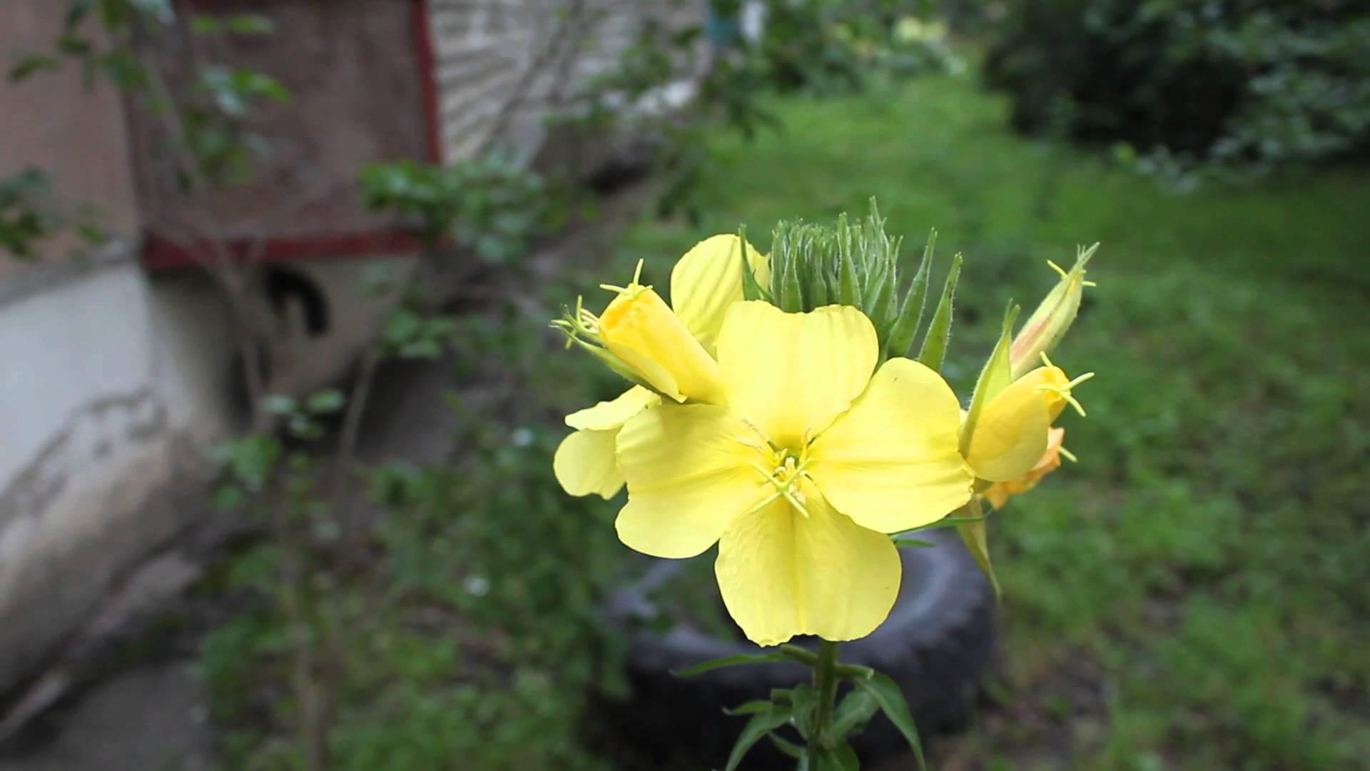 Цветы энотера миссурийская