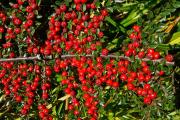 Фото 9 Ваш сад заиграет новыми красками: кизильник блестящий и хитрости его выращивания