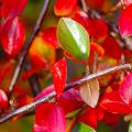 Ваш сад заиграет новыми красками: кизильник блестящий и хитрости его выращивания фото