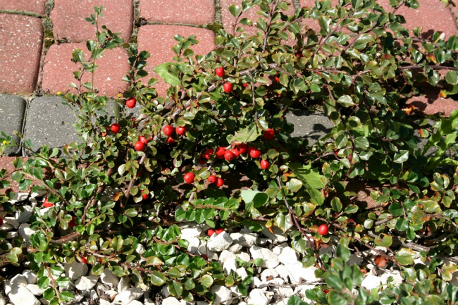 Ваш сад заиграет новыми красками: кизильник блестящий и хитрости его выращивания
