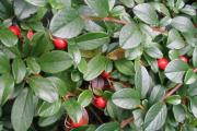 Фото 14 Ваш сад заиграет новыми красками: кизильник блестящий и хитрости его выращивания