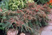 Фото 15 Ваш сад заиграет новыми красками: кизильник блестящий и хитрости его выращивания