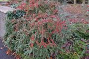 Фото 2 Ваш сад заиграет новыми красками: кизильник блестящий и хитрости его выращивания