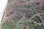 Фото 16 Ваш сад заиграет новыми красками: кизильник блестящий и хитрости его выращивания