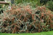 Фото 17 Ваш сад заиграет новыми красками: кизильник блестящий и хитрости его выращивания
