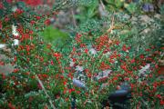 Фото 18 Ваш сад заиграет новыми красками: кизильник блестящий и хитрости его выращивания