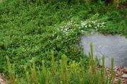 Фото 20 Ваш сад заиграет новыми красками: кизильник блестящий и хитрости его выращивания
