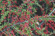Фото 5 Ваш сад заиграет новыми красками: кизильник блестящий и хитрости его выращивания
