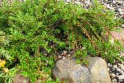 Фото 22 Ваш сад заиграет новыми красками: кизильник блестящий и хитрости его выращивания