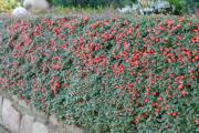 Фото 23 Ваш сад заиграет новыми красками: кизильник блестящий и хитрости его выращивания