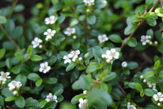 Цветение маленькими белыми цветами