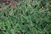 Фото 24 Ваш сад заиграет новыми красками: кизильник блестящий и хитрости его выращивания