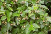 Фото 1 Ваш сад заиграет новыми красками: кизильник блестящий и хитрости его выращивания