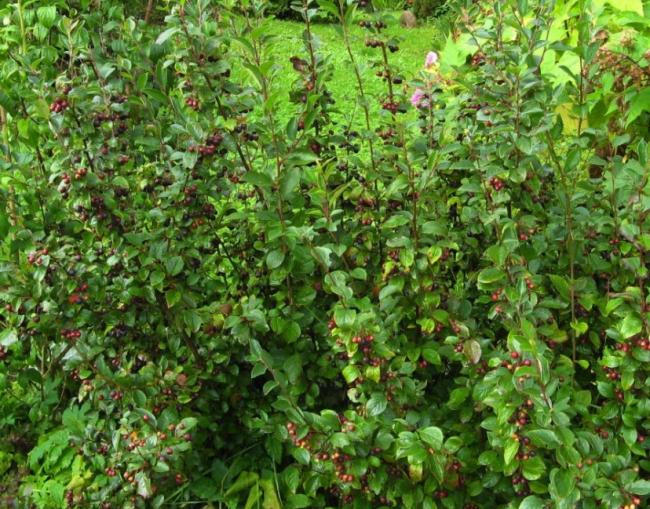 Кустарник с темными ягодами