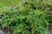 Фото 3 Ваш сад заиграет новыми красками: кизильник блестящий и хитрости его выращивания