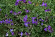 Фото 7 Как вырастить обриету? Ландшафтные дизайнеры и садоводы раскрывают все секреты